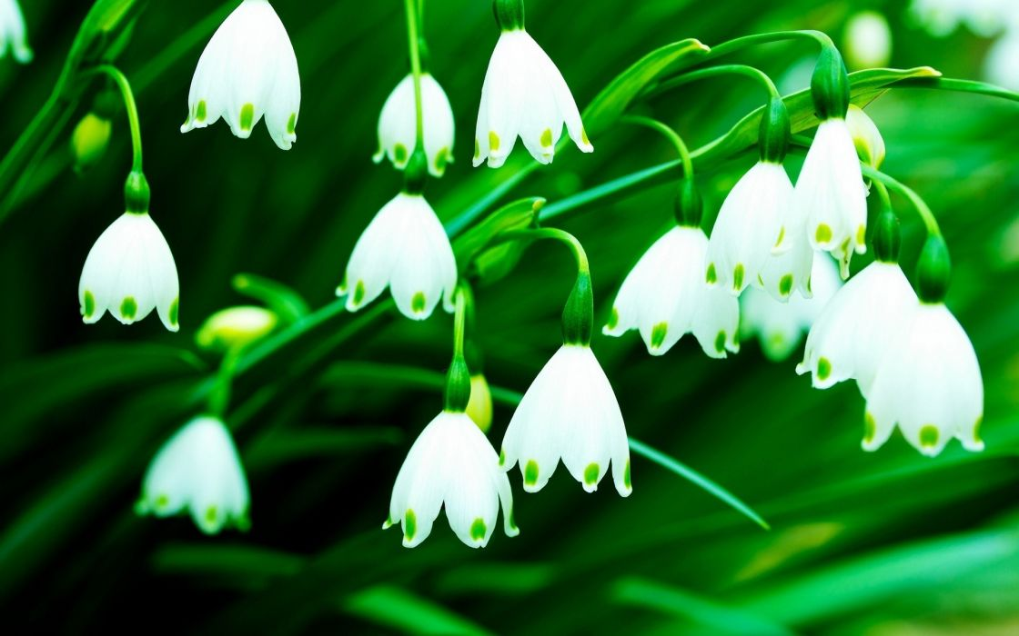 flowers lily of the valley white flowers wallpaper