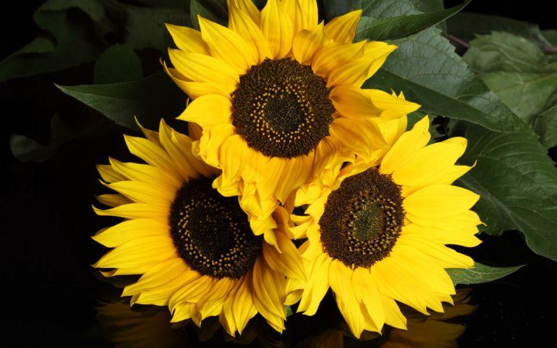 nature sunflowers wallpaper