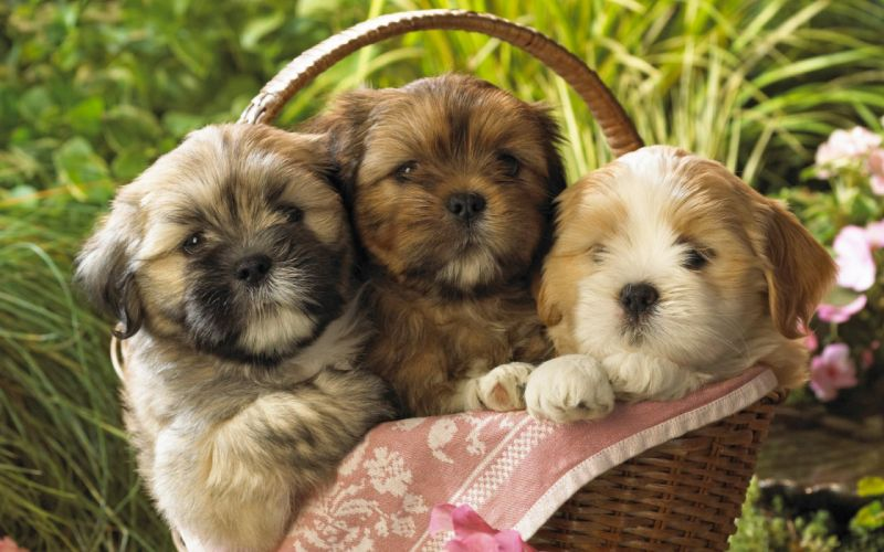 animals dogs puppies baskets wallpaper