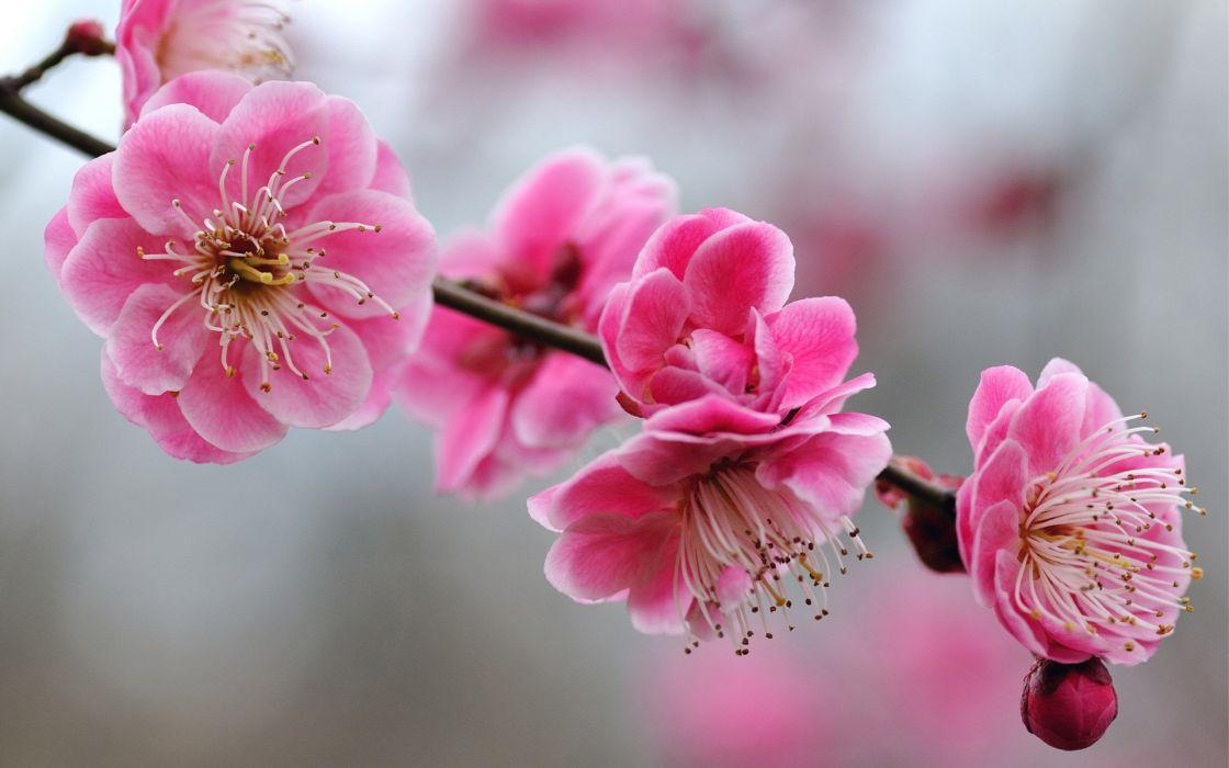 blossoms pink flowers wallpaper