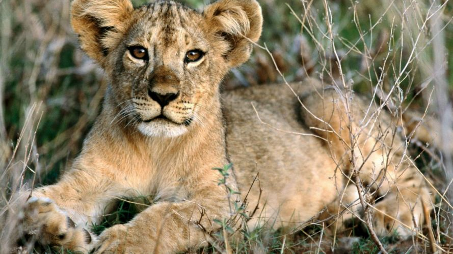 nature animals relaxing African Africa lions baby animals wallpaper