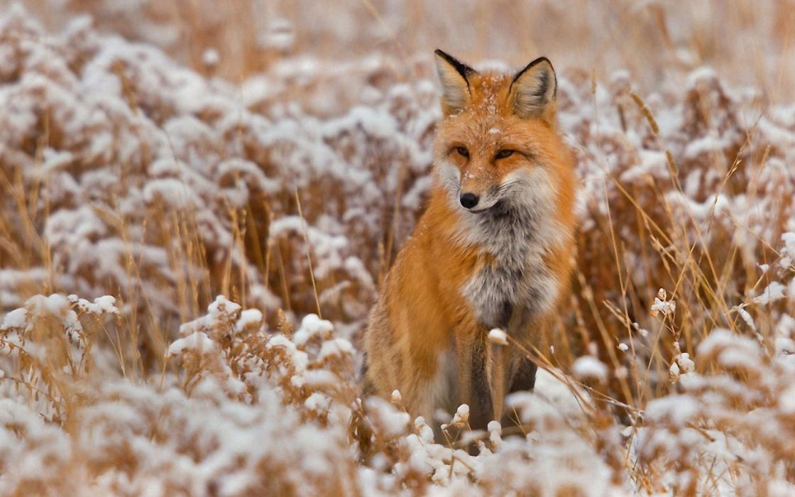 snow red animals grass foxes wallpaper