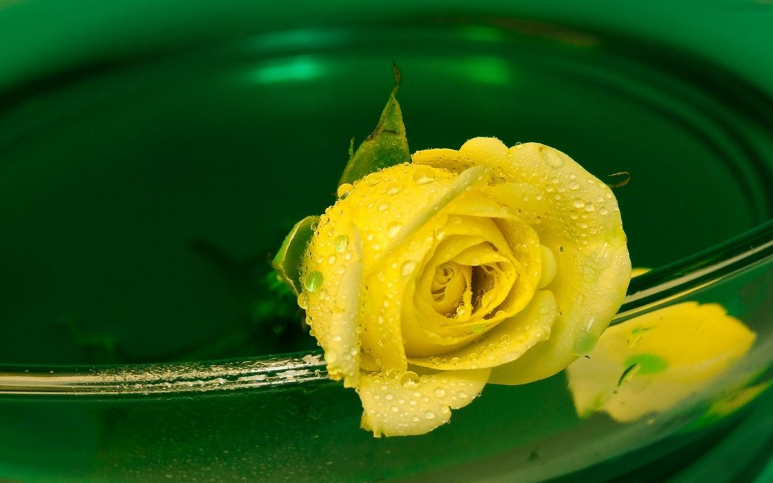 water flowers water drops yellow rose yellow flowers wallpaper