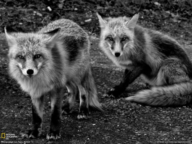 animals National Geographic grayscale foxes wallpaper