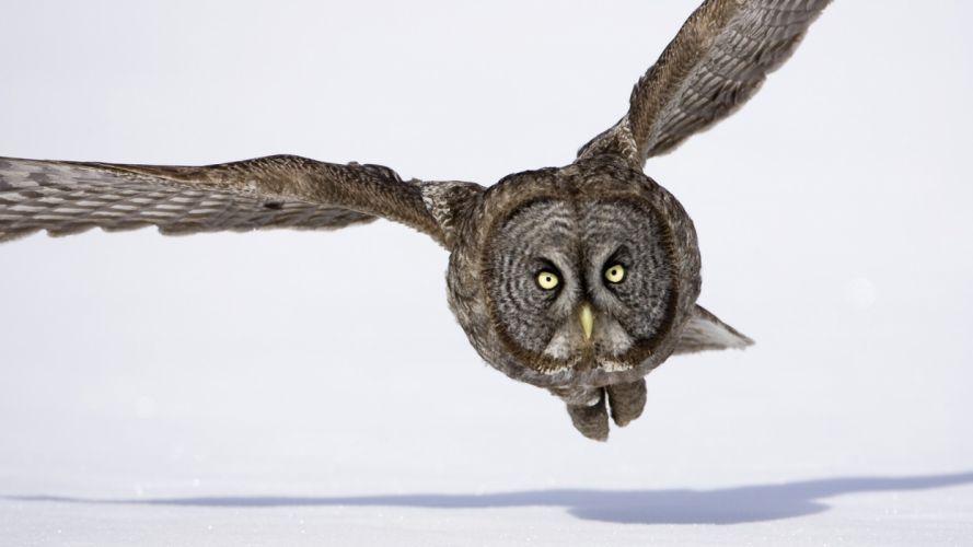 gray owls hunting wallpaper