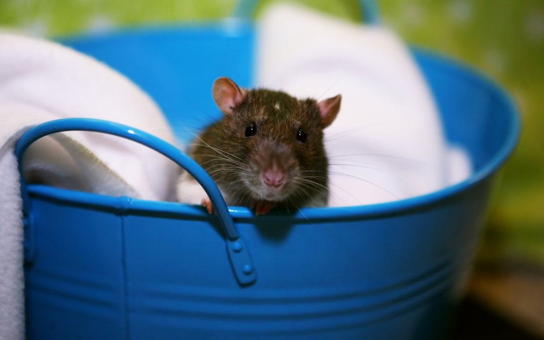 animals rats bucket wallpaper