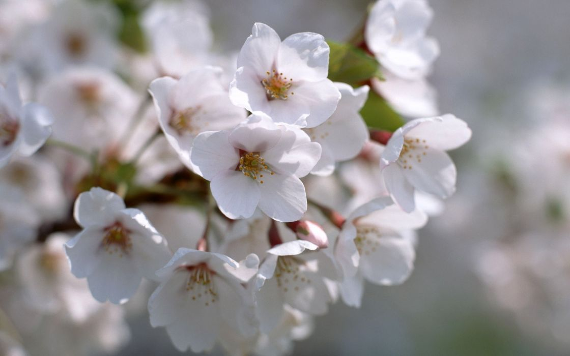 nature white Blossom wallpaper