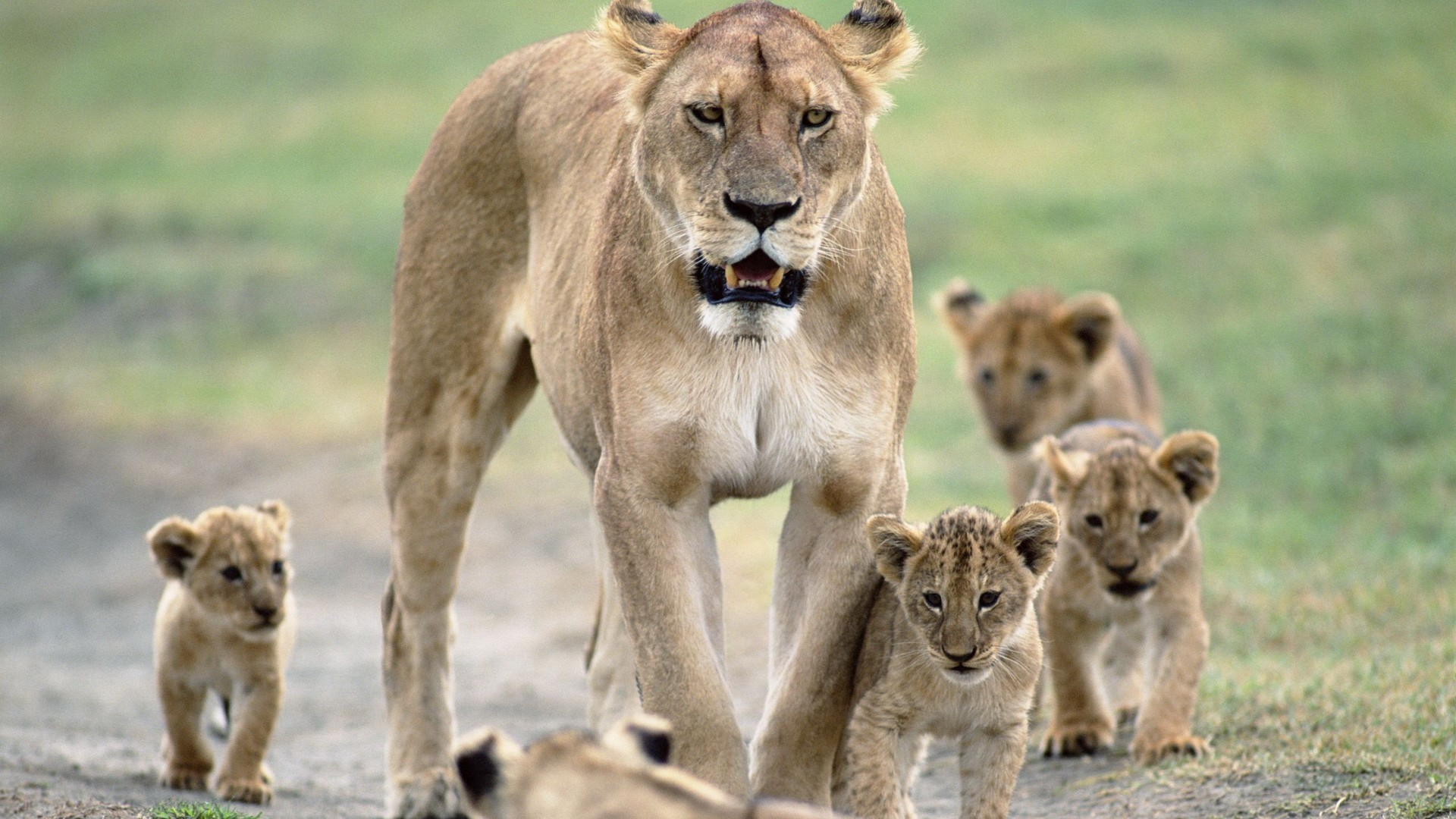 Photo Collection Nature Animals Lions 1920X1080