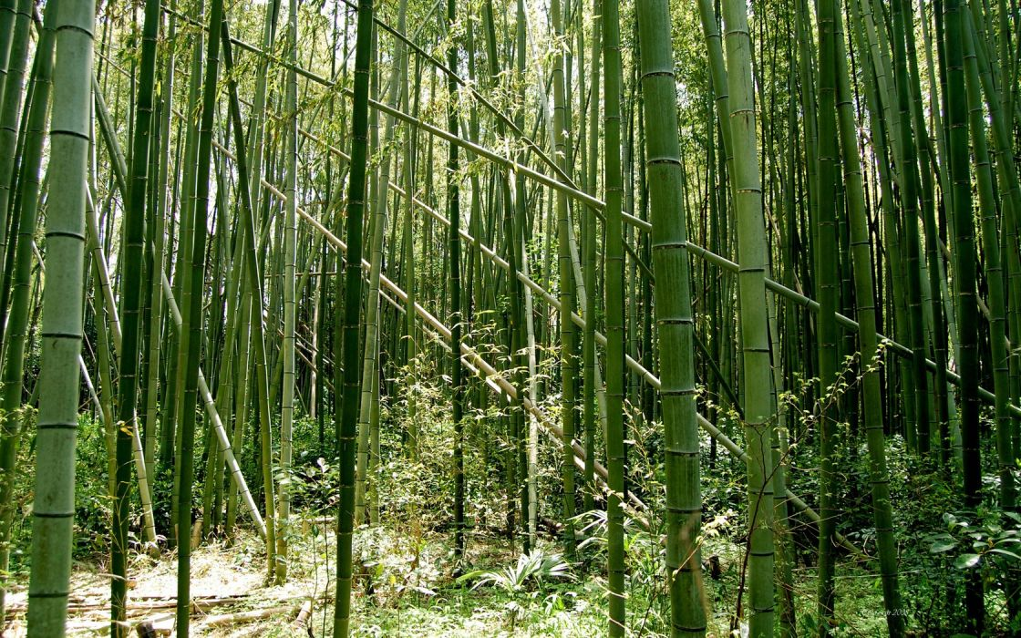 green nature forests bamboo wallpaper