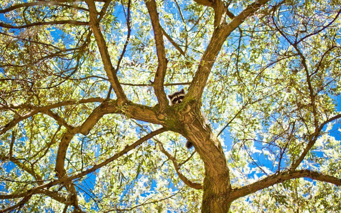 trees raccoons wallpaper