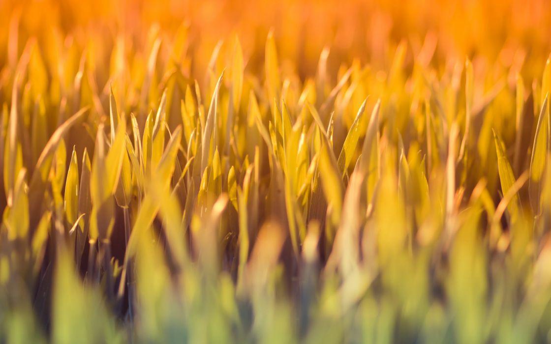 nature grass macro wallpaper