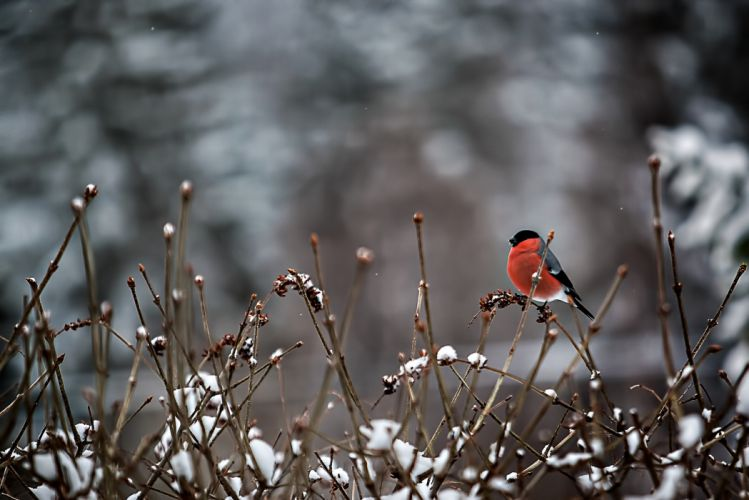 bird snow twigs bullfinch winter wallpaper