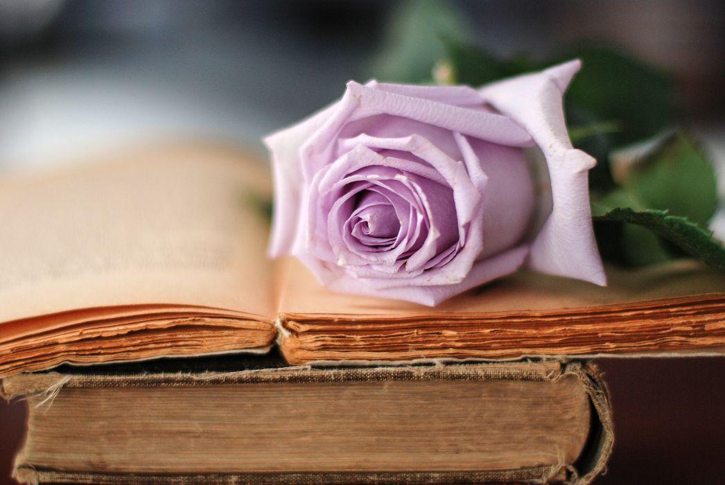 book bud rose bokeh    g wallpaper
