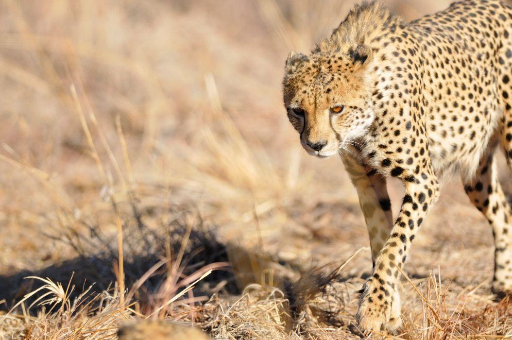 cheetah wild cat muzzle light wallpaper