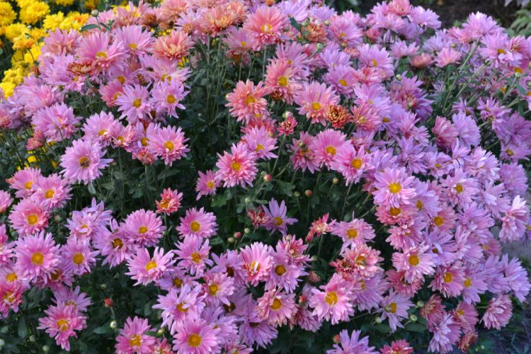Chrysanthemums Many Pink color Flowers wallpaper