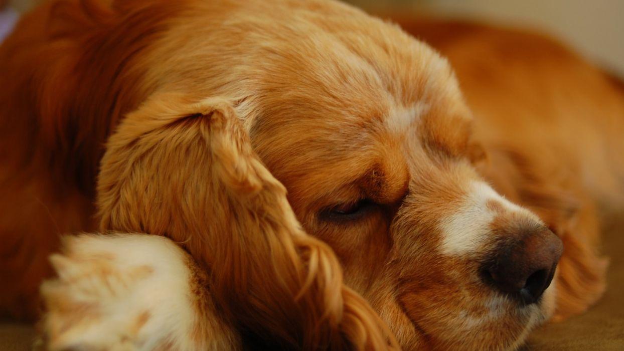 Cocker Spaniel lay sleeping puppy wallpaper