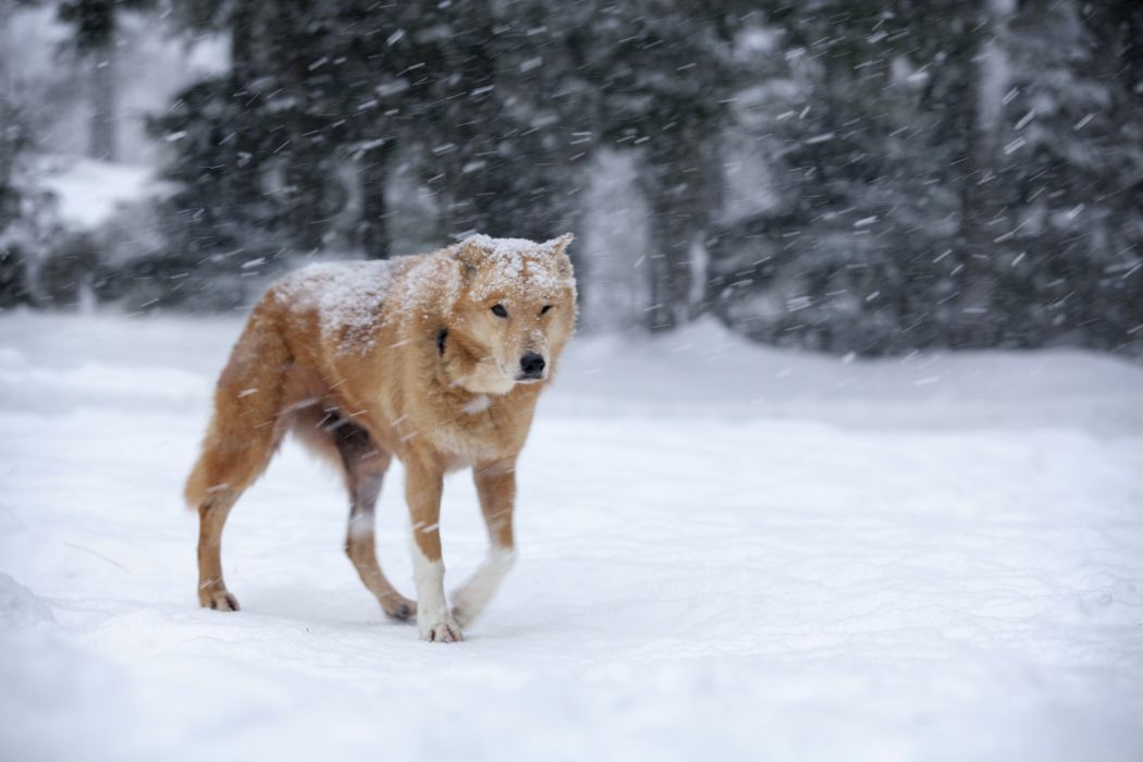 dog snow blizzard red winter   h wallpaper