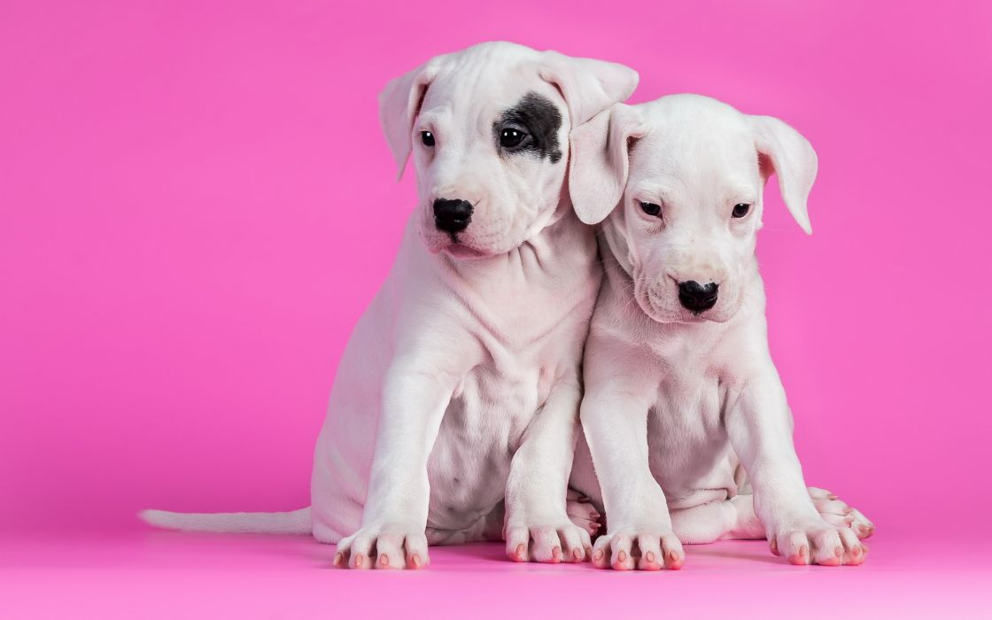 dogs puppy       h wallpaper