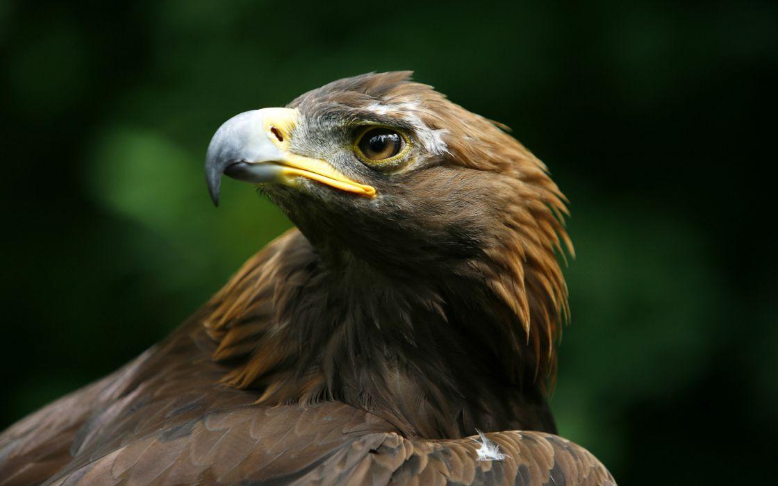 eagle bird predator head beak wallpaper
