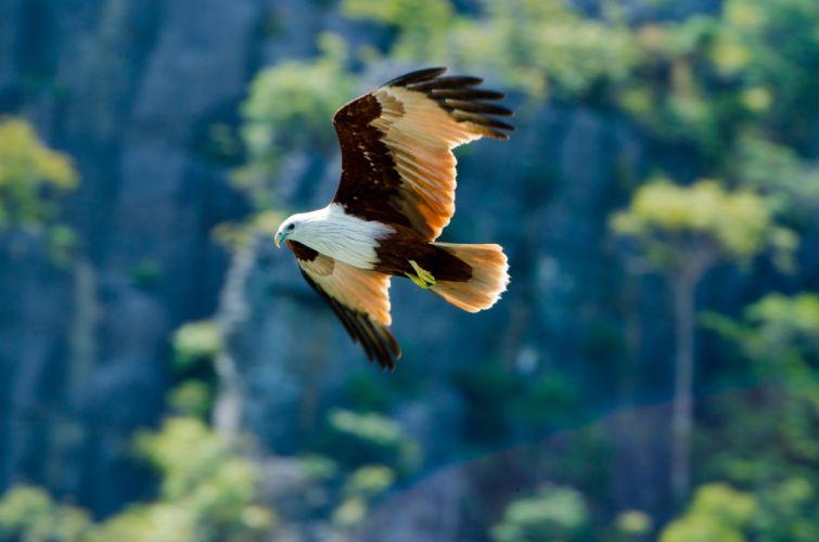 eagle bird background predator wallpaper