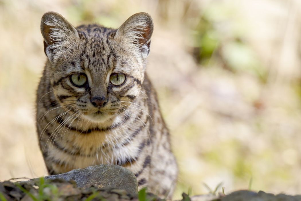 Geoffrey Wallpaper cat wild cat muzzle wallpaper