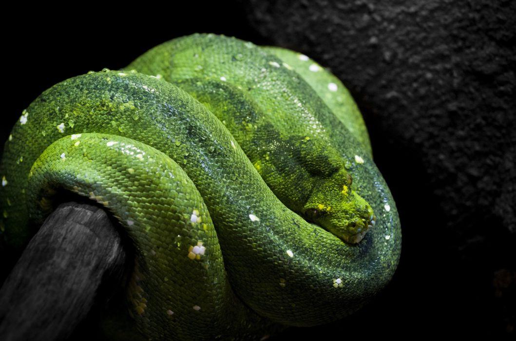 green tree python snake wallpaper