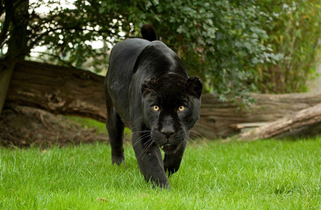 jaguar panther wild cat muzzle wallpaper