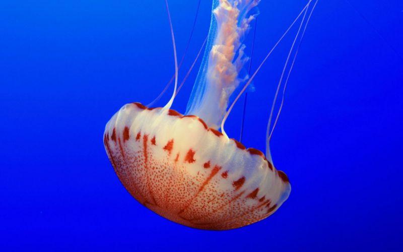 jellyfish water underwater sea ocean wallpaper