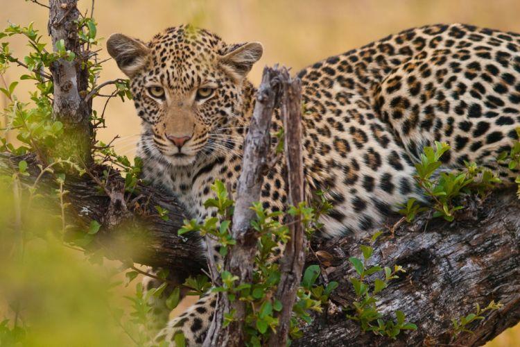 leopard wild cat muzzle g wallpaper
