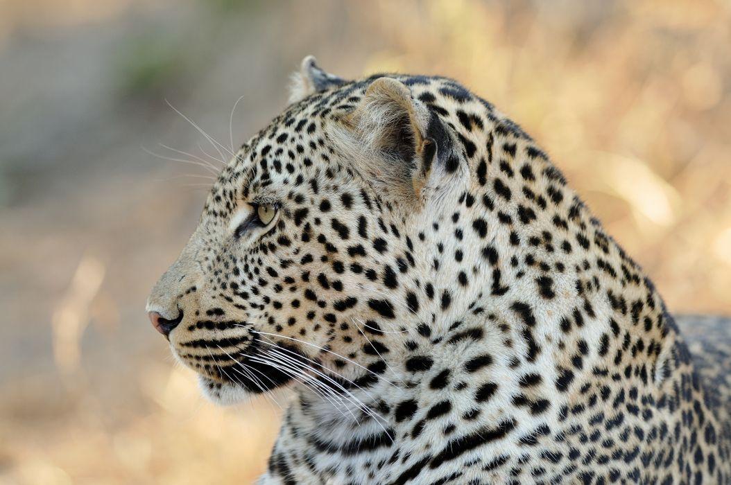 leopard wild cat face profile wallpaper