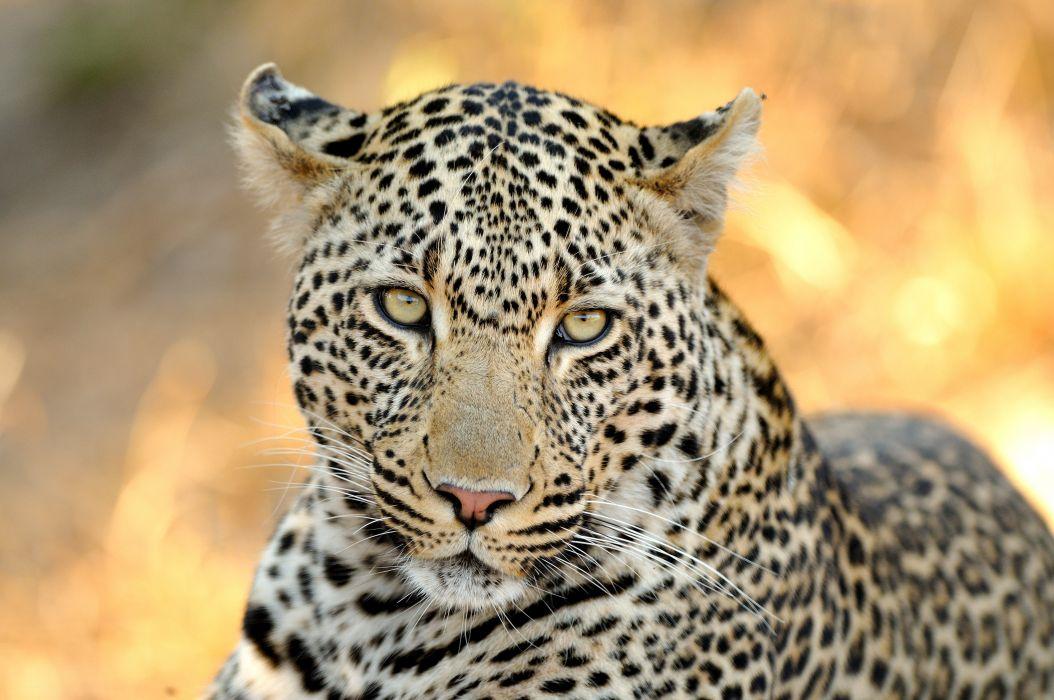 leopard wild cat muzzle wallpaper