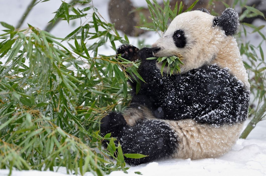 panda bamboo branches leaves snow winter baby wallpaper