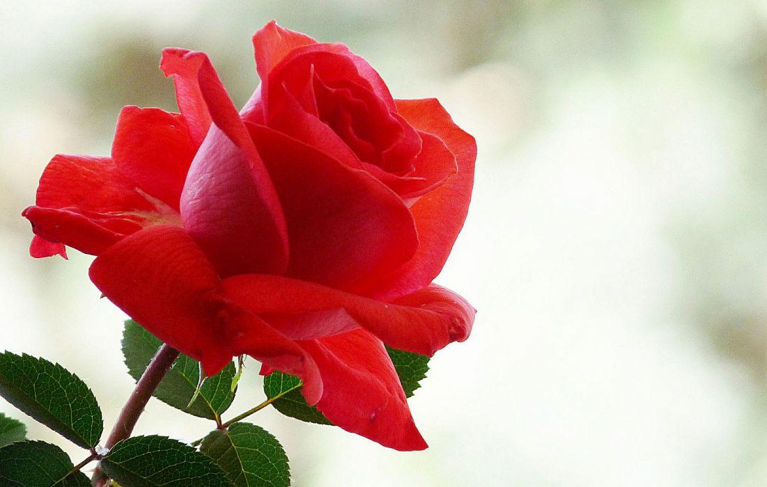 roses bokeh wallpaper