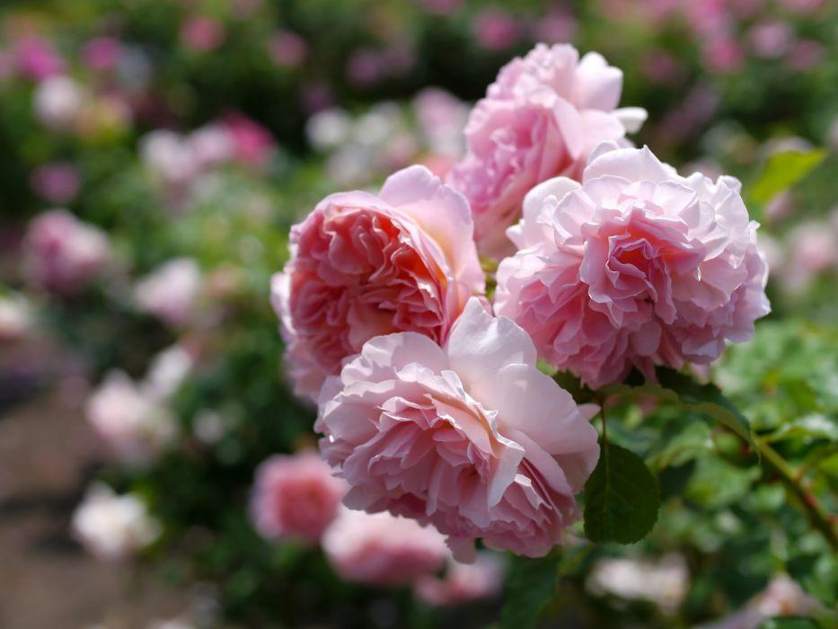 roses branch bokeh wallpaper