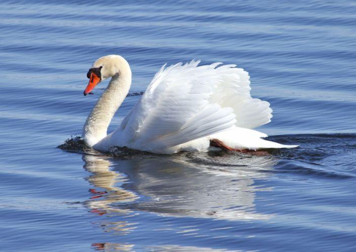 swan white water grace wallpaper