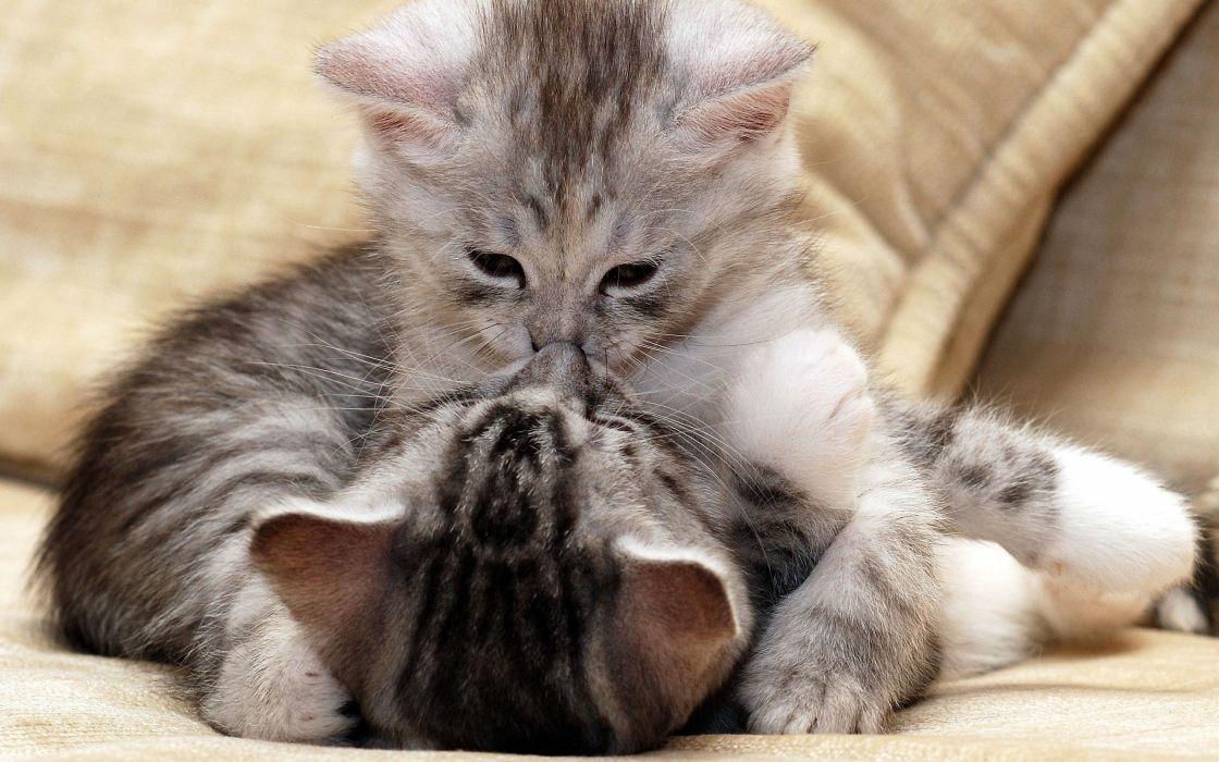 cats animals kittens wallpaper