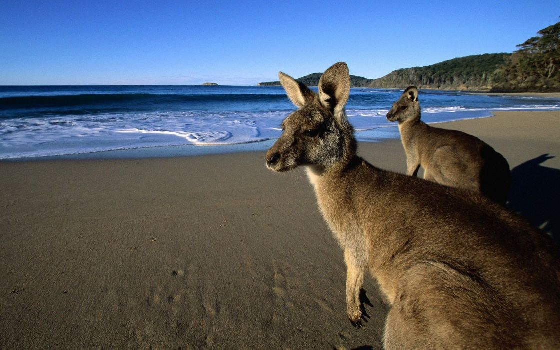 nature kangaroos beaches wallpaper
