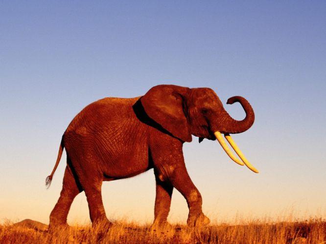 nature animals elephants wallpaper