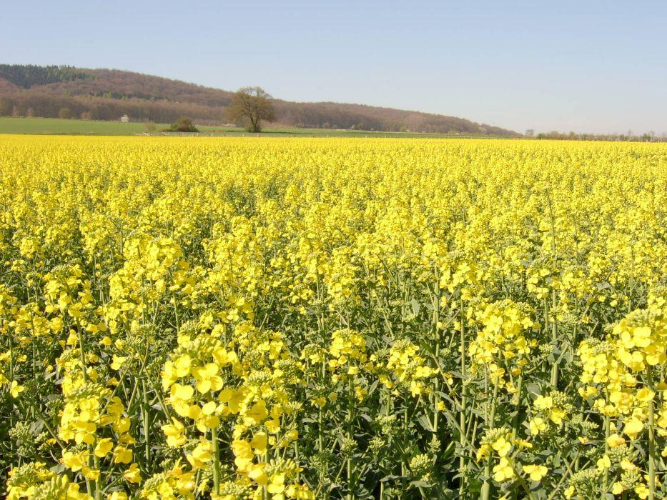 nature flowers fields yellow field yellow flowers wallpaper
