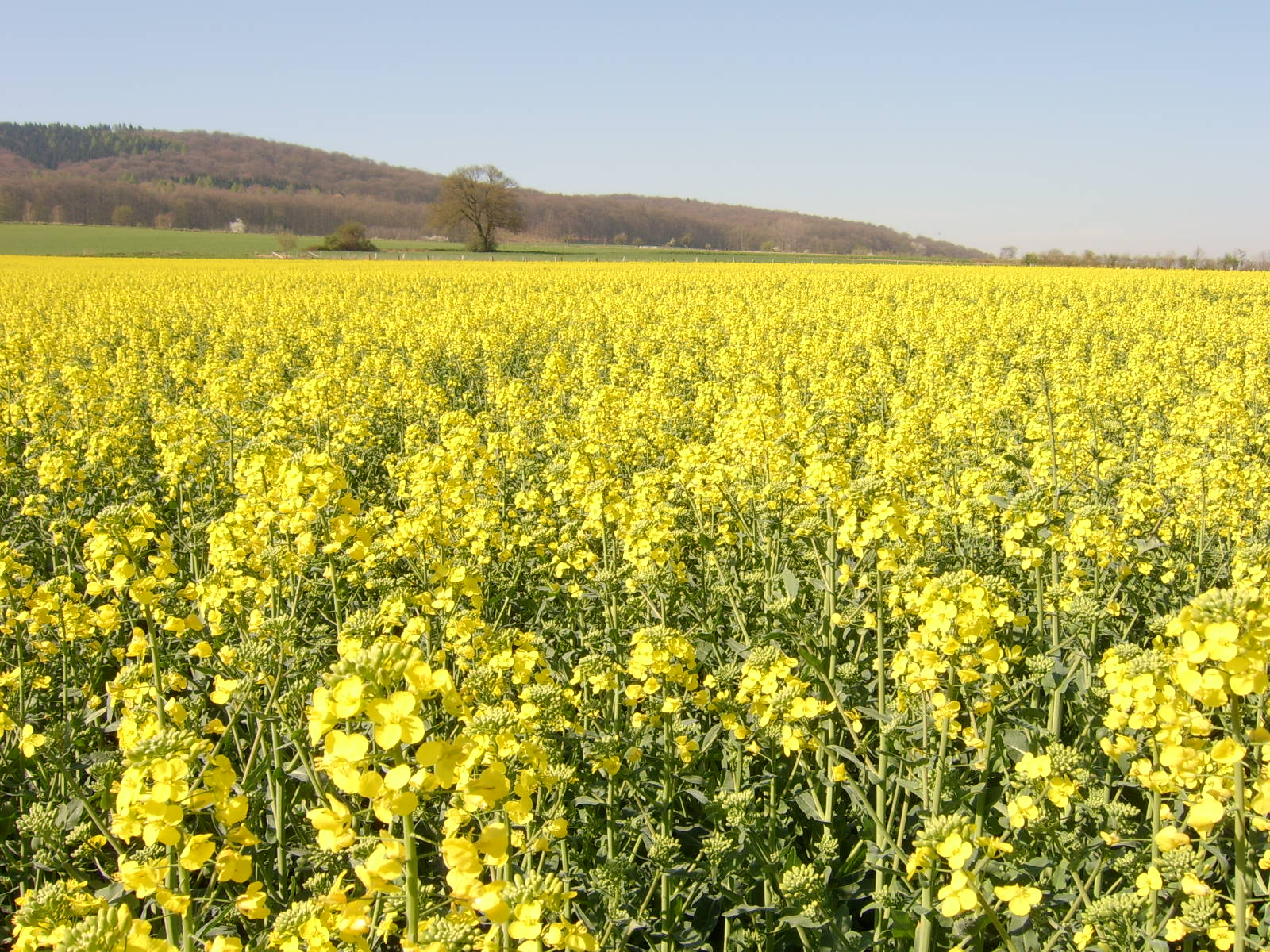 Nature flowers fields yellow field yellow flowers ...
