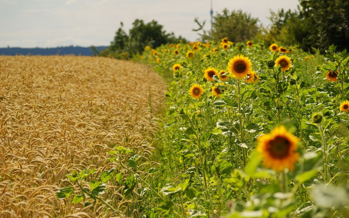 landscapes flowers fields agriculture sunflowers wallpaper