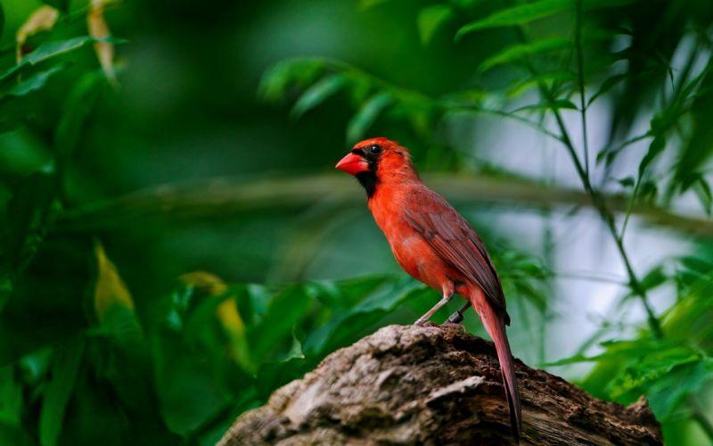 birds leaves cardinal red birds wallpaper