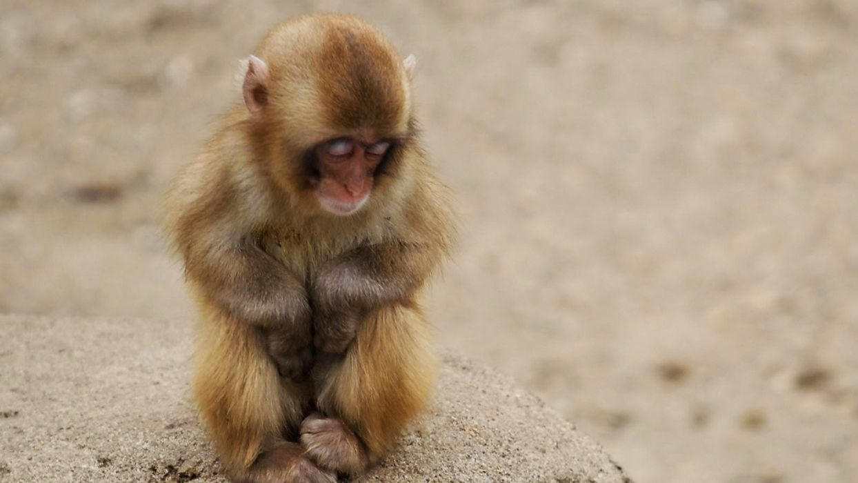 animals backgrounds monkeys baby animals wallpaper