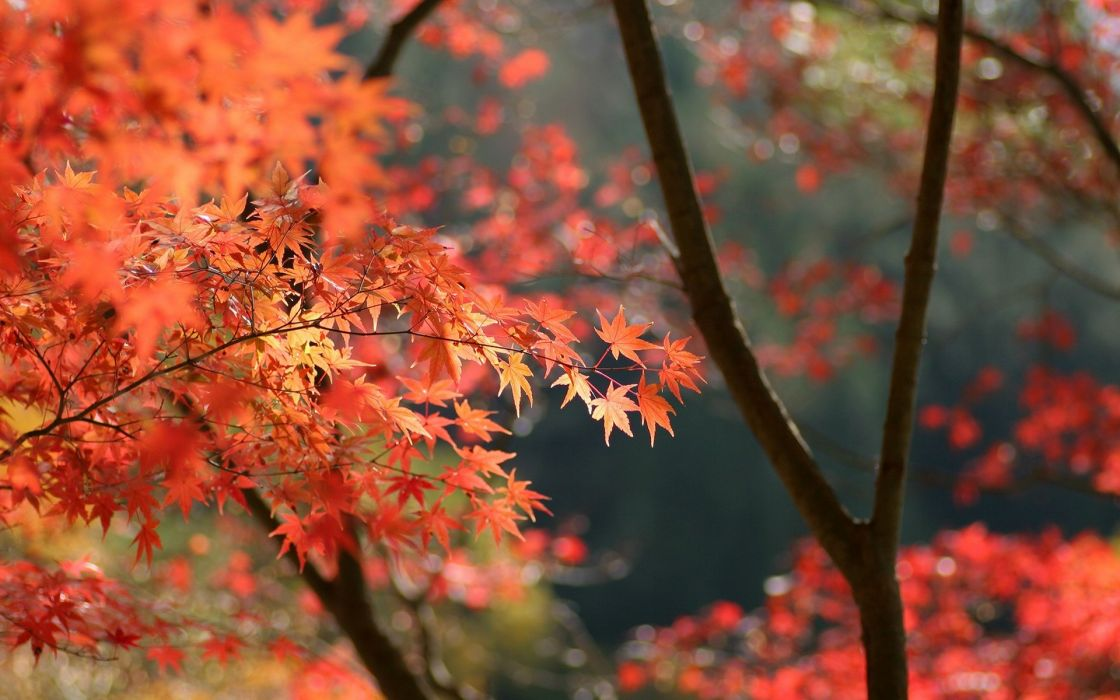 Japan autumn leaves wallpaper