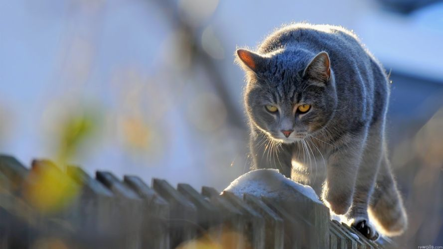 fences cats animals picket fence wallpaper