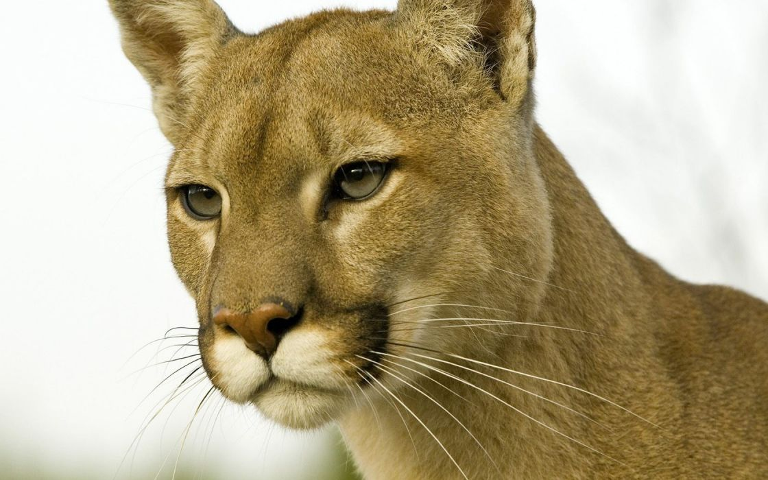 animals cougars profile Montana wallpaper