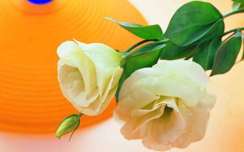 nature flowers orange white roses roses wallpaper