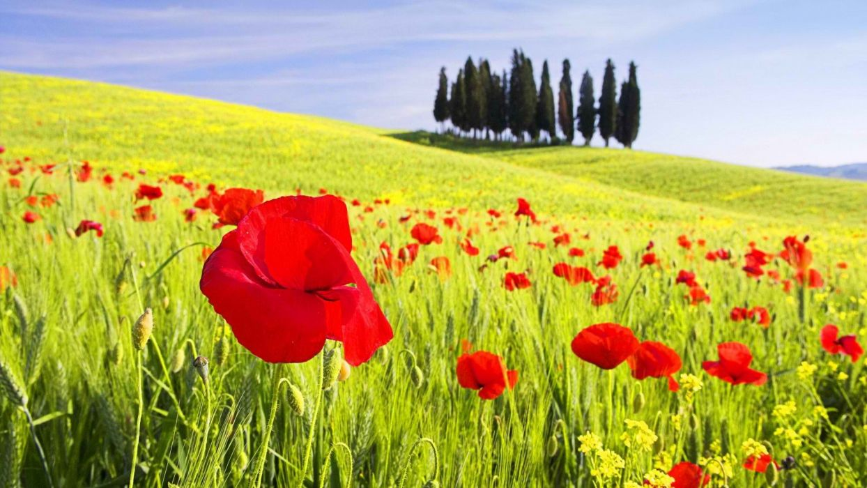 flowers Italy poppy Tuscany poppies Val d'Orcia Cipressi wallpaper