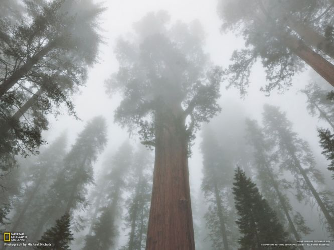 trees forests National Geographic Sequoia wallpaper