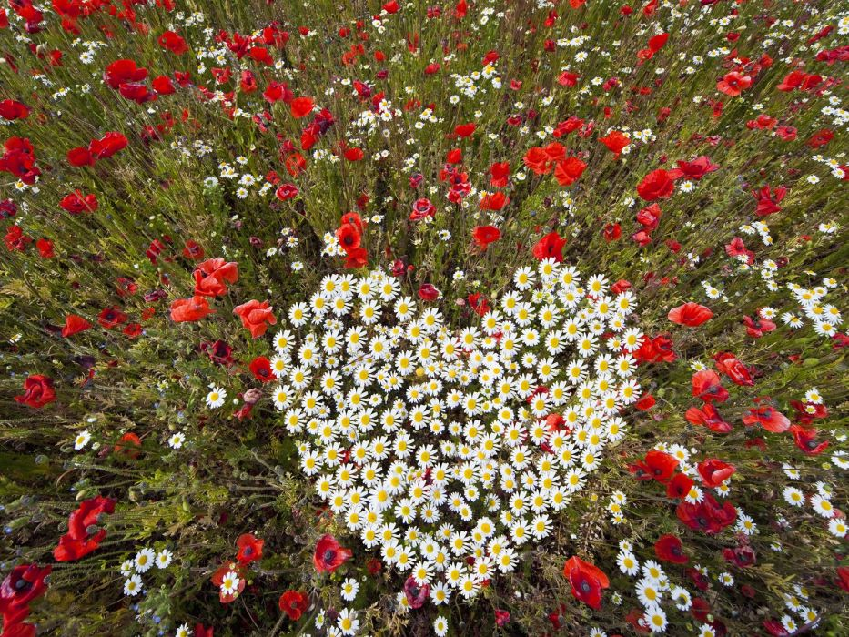 flowers hearts daisies wallpaper